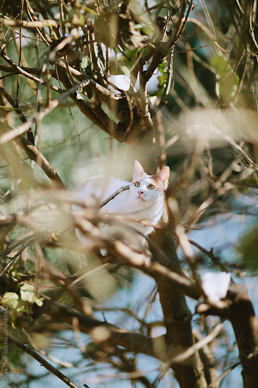 Cat sitting high on bare tree branch and staring at something by Laura Stolfi for Stocksy United