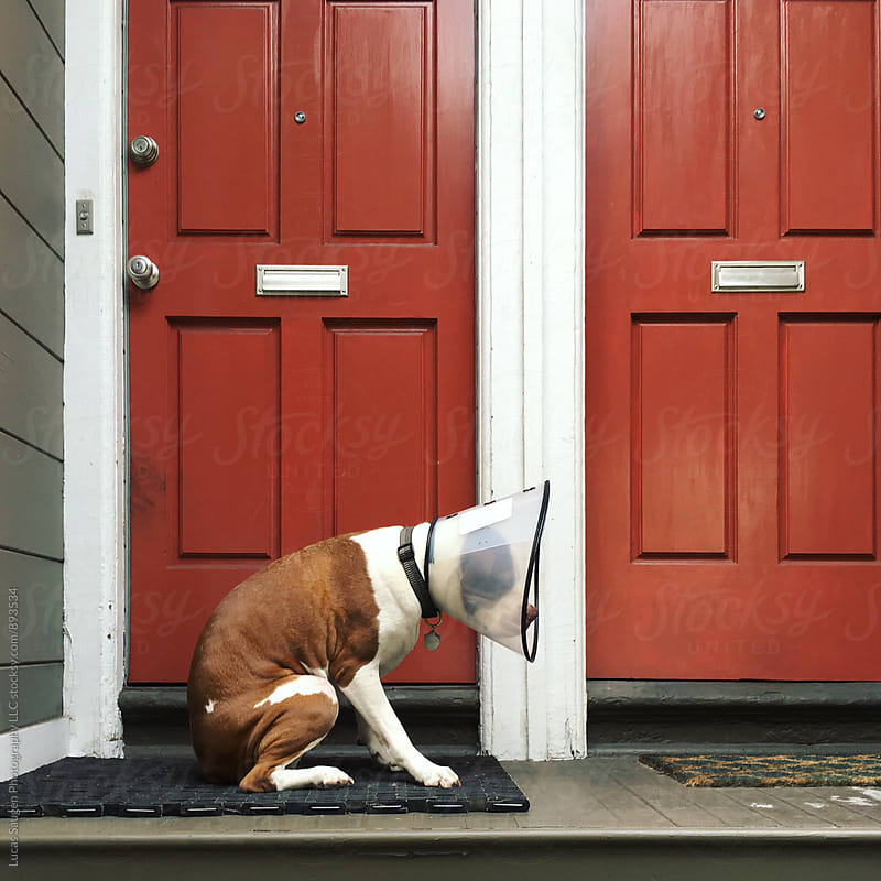 Large dog sits on stoop shortly after surgery. by Lucas Saugen for Stocksy United