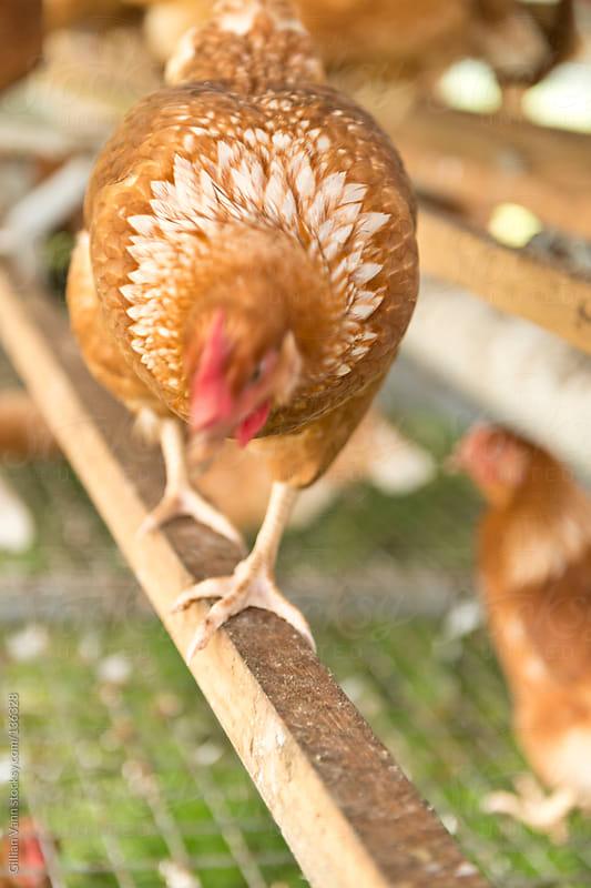organic hen on a perch by Gillian Vann for Stocksy United