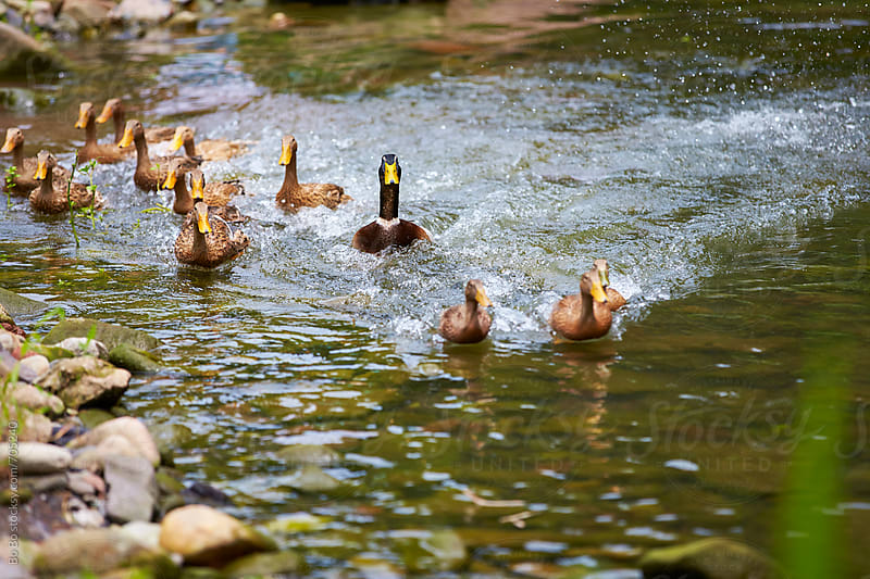 ducks in the stream by Bo Bo for Stocksy United