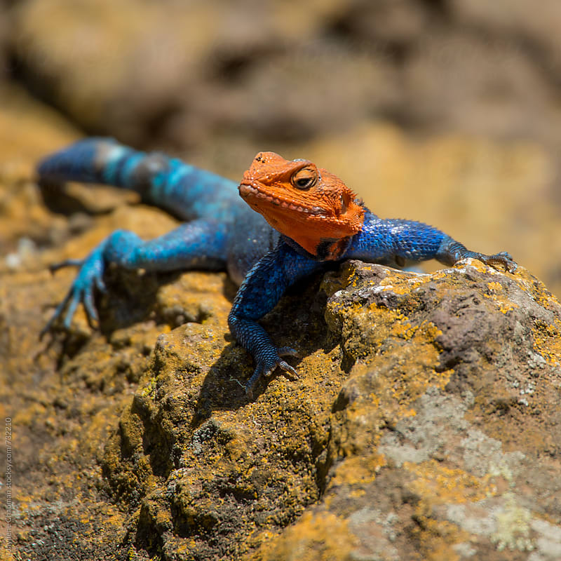 Male Agama Lizard on a moss covered rock basking in the sun by Jaydene Chapman for Stocksy United