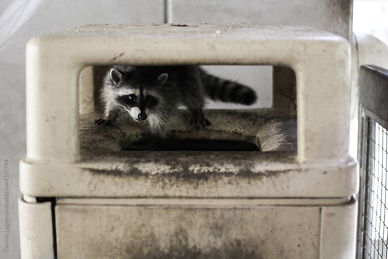 Raccoon scrounging around in a trash can looking for a sweet meal by Carolyn Lagattuta for Stocksy United