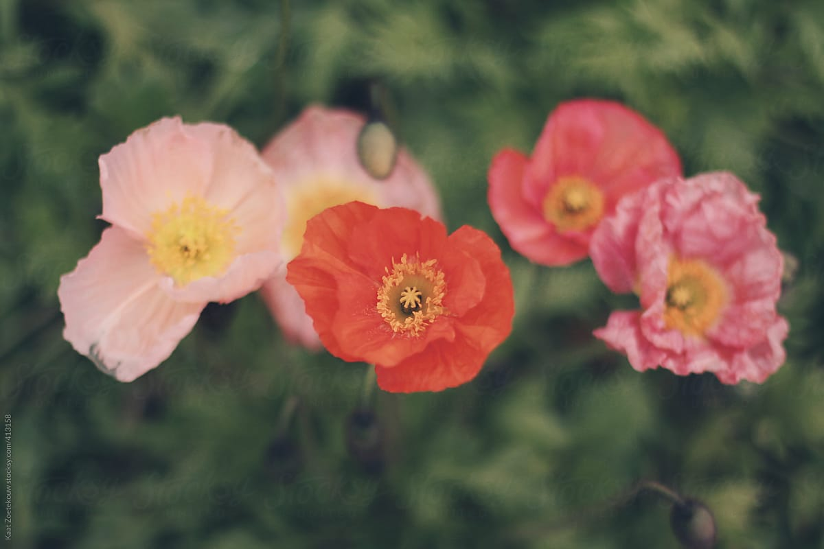 Multi Colored Mostly Pink Poppy Flowers From Above Stocksy United