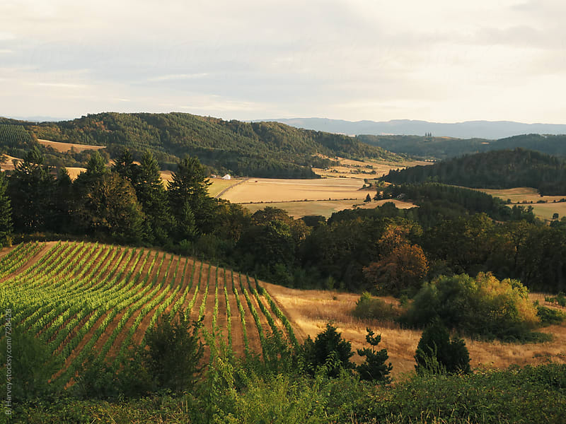 Oregon Vineyards by B. Harvey for Stocksy United