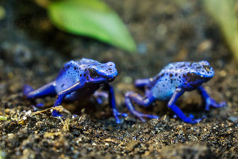 Couple of blue frogs by ACALU Studio for Stocksy United