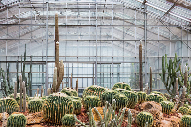 Cacti room growing indoors by Jovo Jovanovic for Stocksy United