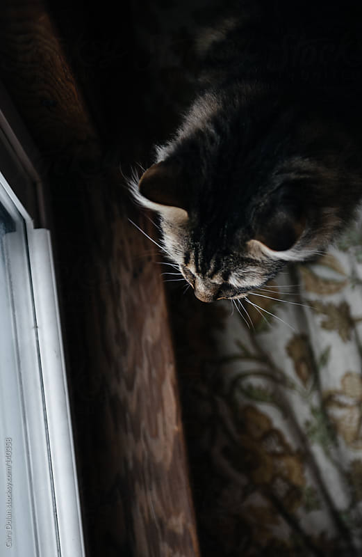 Brown tiger cat looks out the window by Cara Dolan for Stocksy United