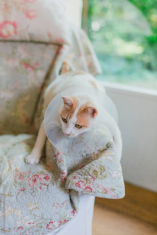 Cat wears protective collar and lays on sofa's arm in funny way by Laura Stolfi for Stocksy United