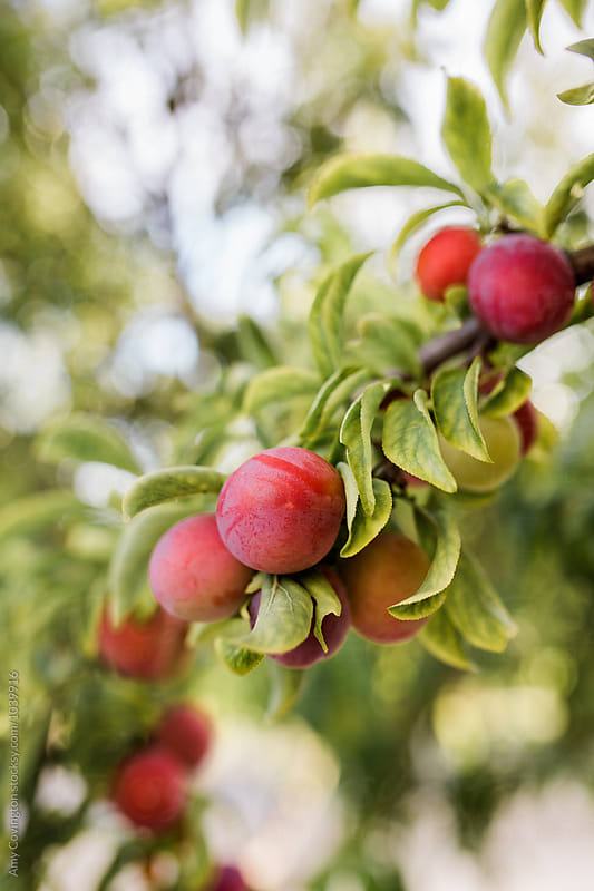 Organic plums maturing on a tree by Amy Covington for Stocksy United
