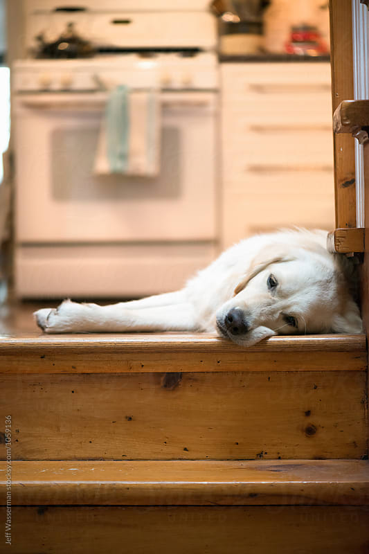 Dog Resting in Kitchen by Jeff Wasserman for Stocksy United