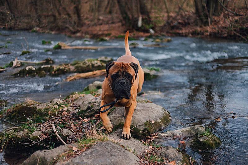 Adult bull mastiff in the forest by Dimitrije Tanaskovic for Stocksy United