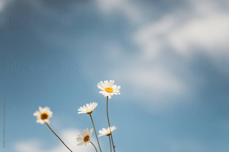 white flowers  with lclouds on the sky by Javier Pardina for Stocksy United