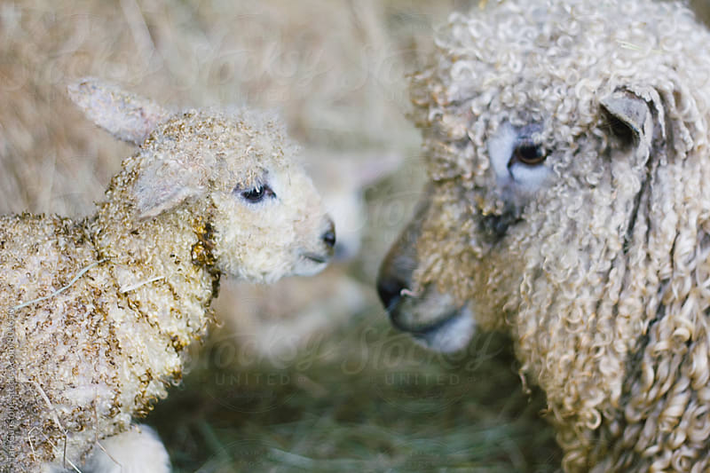 Baby lamb and mother touch noses by Tari Gunstone for Stocksy United