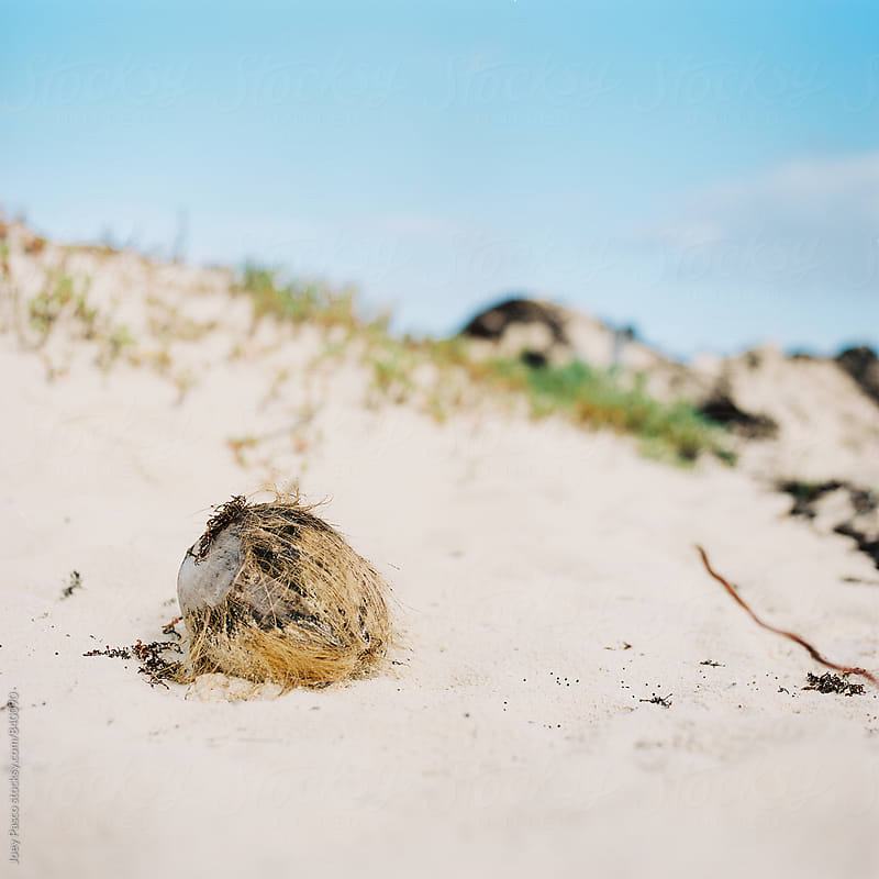 Fallen coconut lies alone on a white sand Caribbean beach by Joey Pasco for Stocksy United