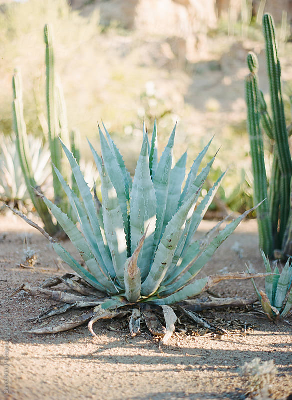 Agave Plant by Daniel Kim Photography for Stocksy United