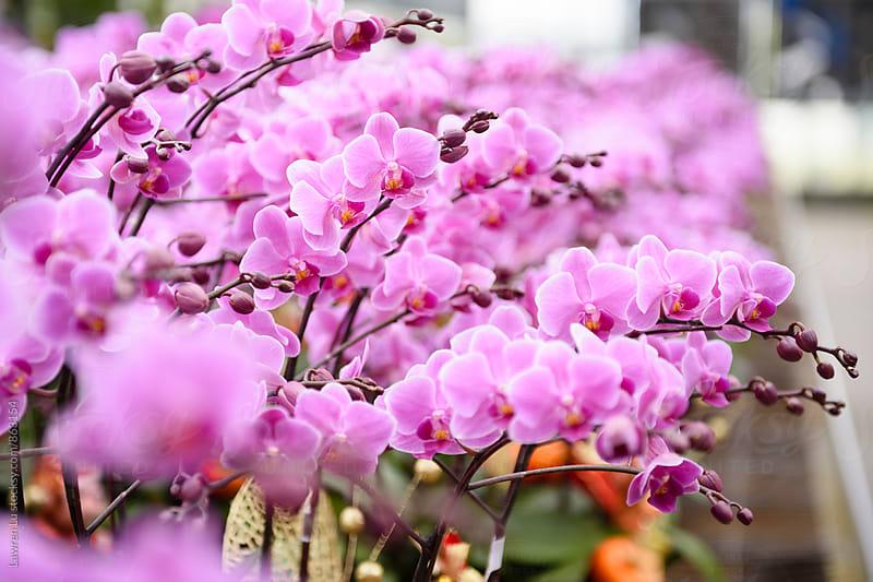Moth orchid in bulk for sale by Lawren Lu for Stocksy United