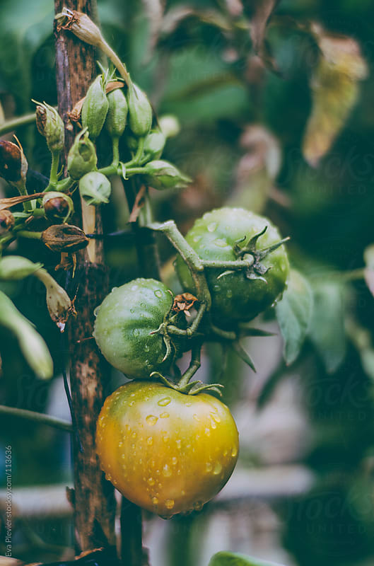 Fresh tomatoes hanging on a branch. by Eva Plevier for Stocksy United
