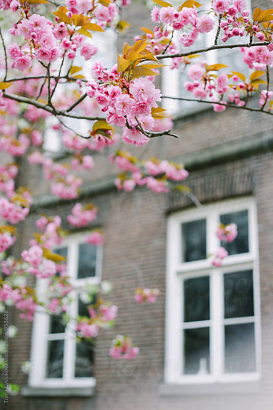 Pink cherry blossom on the backyard by Toma Evsiukova for Stocksy United
