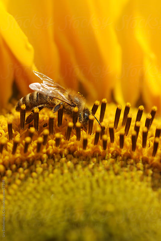 Bee close-up by Urs Siedentop & Co for Stocksy United