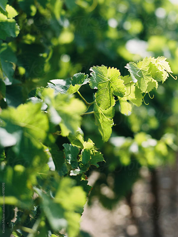 Close up of vine leaves in France by Kirstin Mckee for Stocksy United