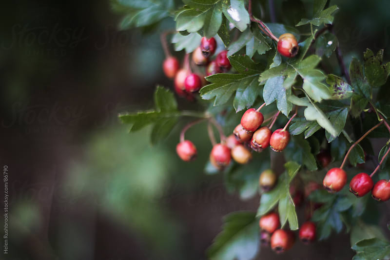 Hawthorn berries by Helen Rushbrook for Stocksy United