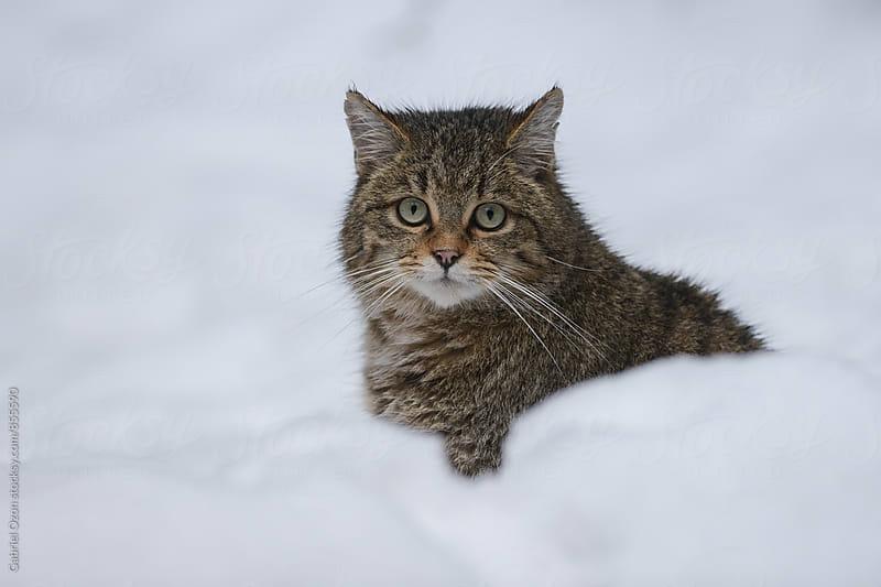 European wildcat (Felis silvestris silvestris) by Gabriel Ozon for Stocksy United