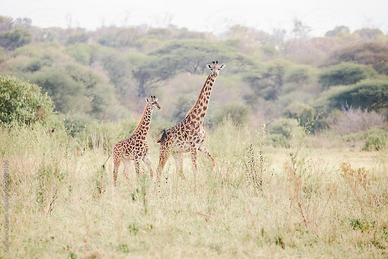 mother and baby giraffe by Cameron Zegers for Stocksy United