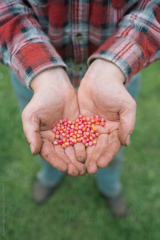 Farmer holding Corn Seeds by Rowena Naylor for Stocksy United