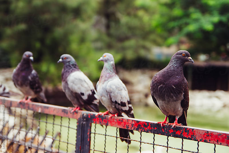 Group of pigeons by Leandro Crespi for Stocksy United