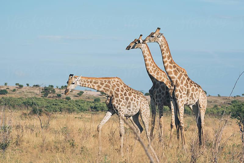 Giraffe group in Botswana by Urs Siedentop & Co for Stocksy United