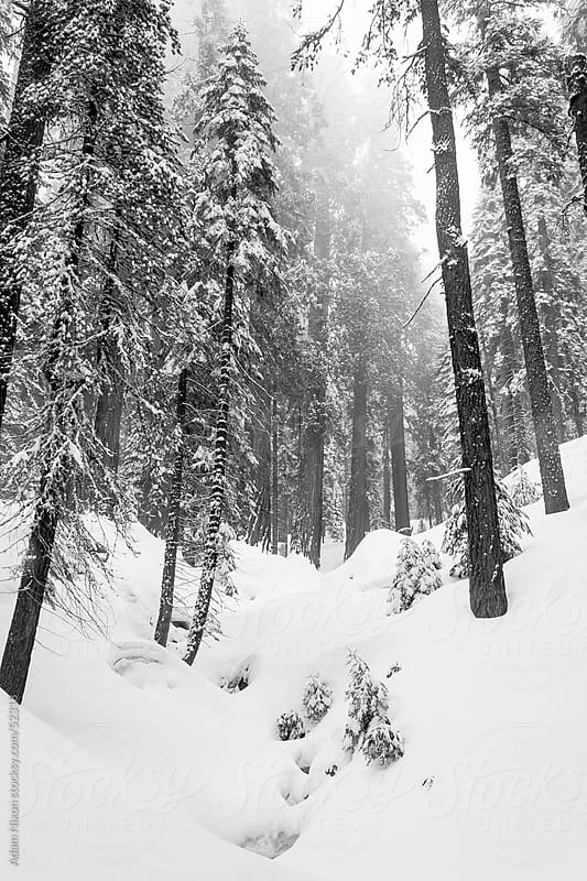 Giant Sequoia trees in the Sequoia & Kings Canyon National Park, B&W. by Adam Nixon for Stocksy United