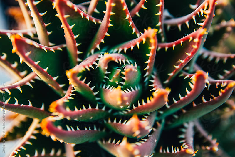 Succulent plant detail with spikes by Alejandro Moreno de Carlos for Stocksy United