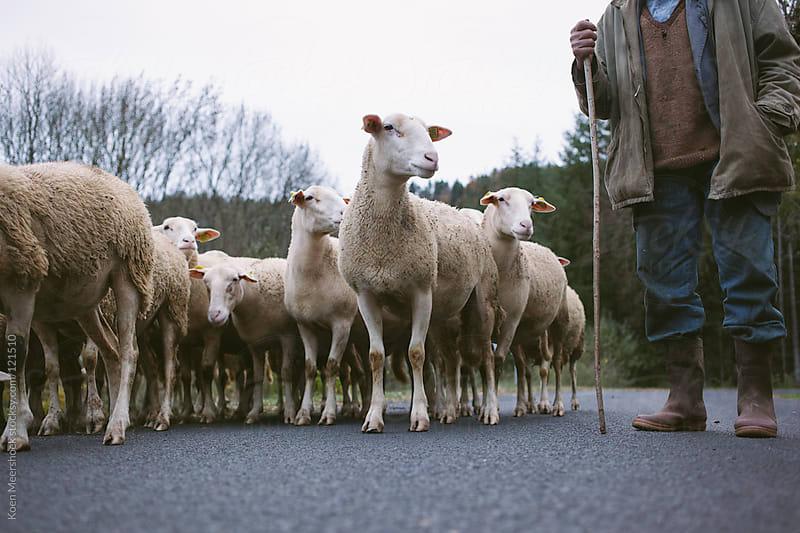 A shepherd with his herd of sheeps by Koen Meershoek for Stocksy United