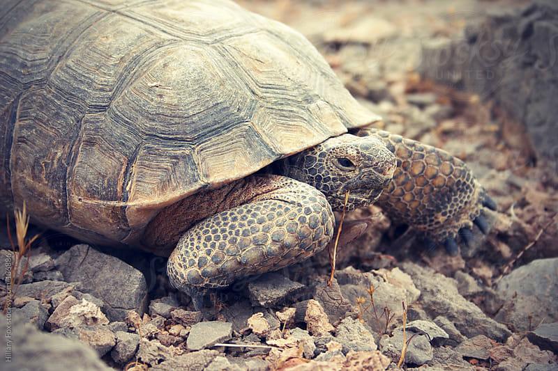 Desert Tortoise by Hillary Fox for Stocksy United