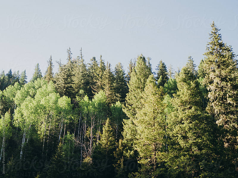 Pine trees in forest, New Mexico by Jeremy Pawlowski for Stocksy United