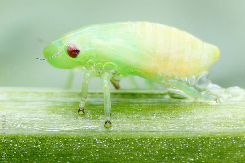 Alien froghopper by Marcel for Stocksy United