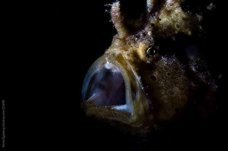 Brown Frog fish with open mouth on the coral reef  underwater in Indonesia by Søren Egeberg Photography for Stocksy United