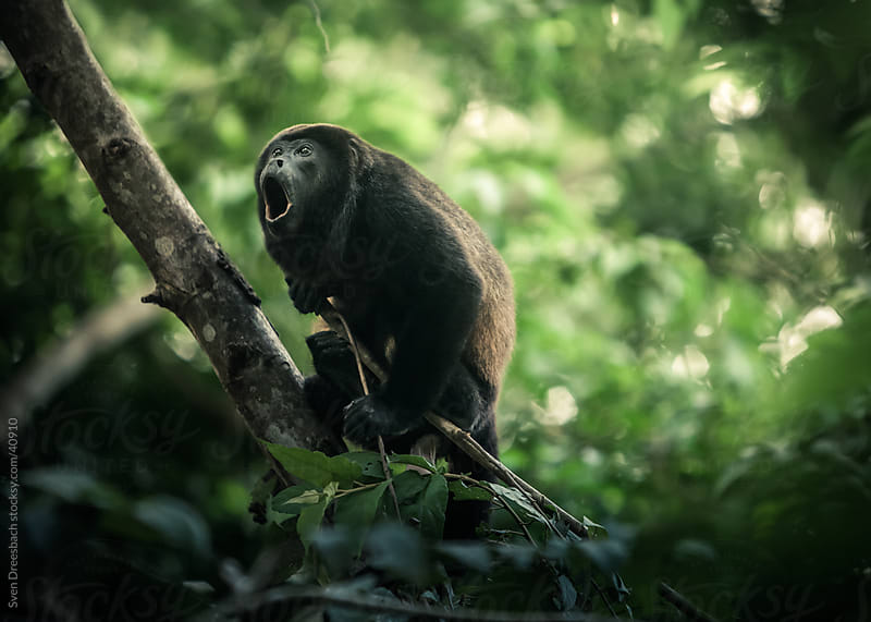 Howler Monkey by Sven Dreesbach for Stocksy United