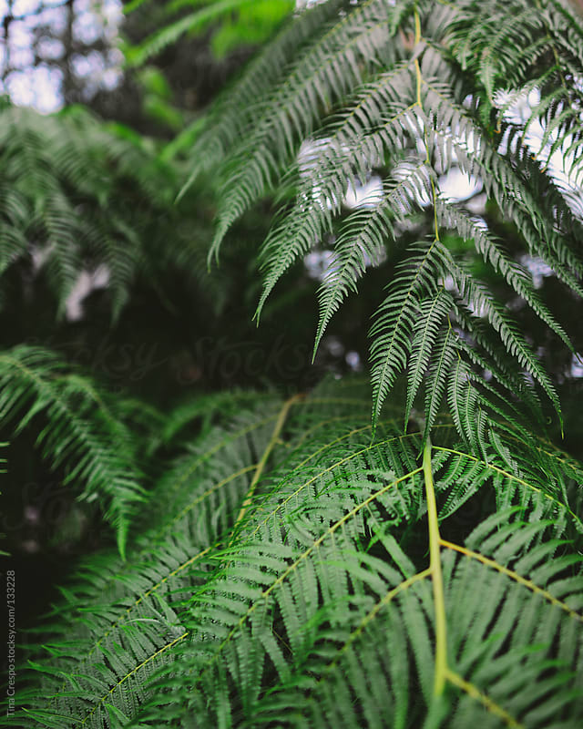 Ferns by Tina Crespo for Stocksy United