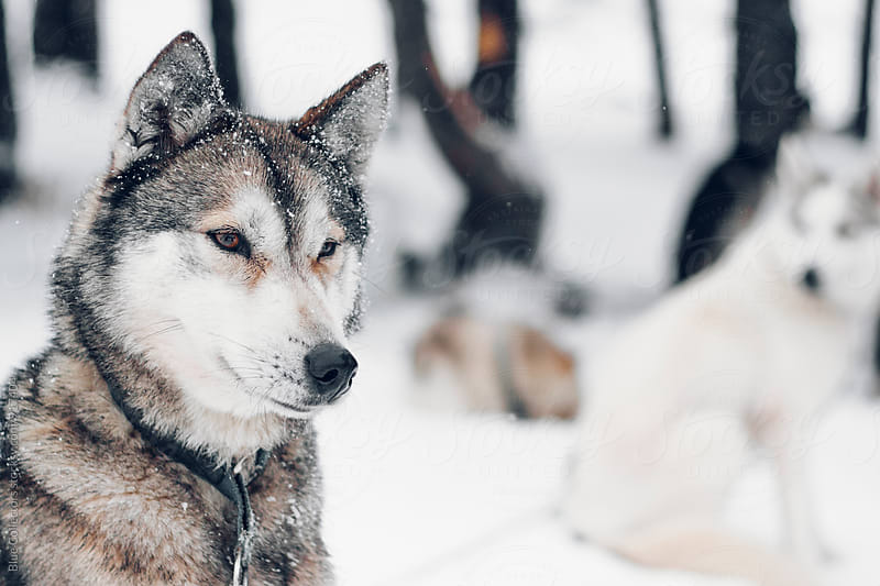 Husky in snow by Jordi Rulló for Stocksy United