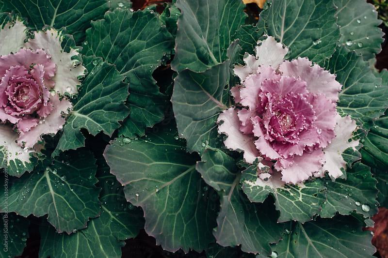 Decorative cabbage plants by Gabriel (Gabi) Bucataru for Stocksy United