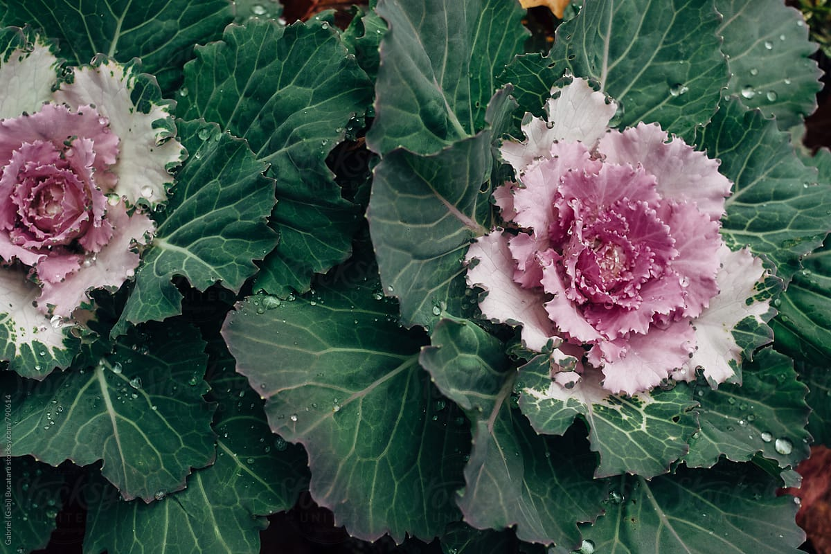 Decorative Cabbage Plants By Gabriel Gabi Bucataru Stocksy United