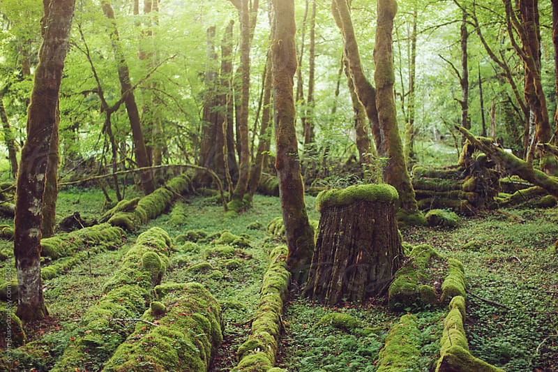 Mossy Forest by Kevin Russ for Stocksy United