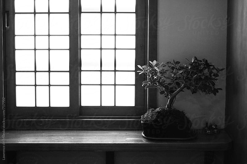 Window, light, and a bonsai tree.  by Lawrence del Mundo for Stocksy United