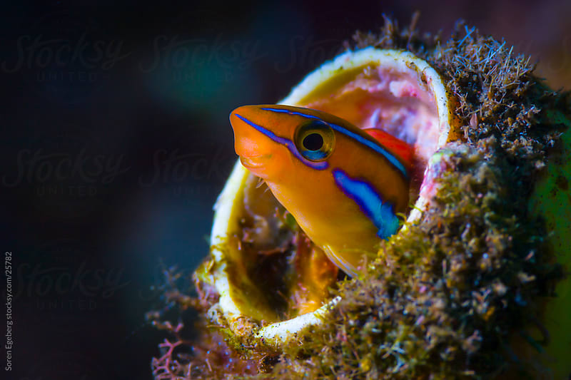 Colorful Orange fish hiding in old rubbish underwater in Malaysia by Soren Egeberg for Stocksy United