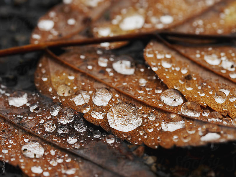 Pure waterdrops on brown leaf by rolfo for Stocksy United