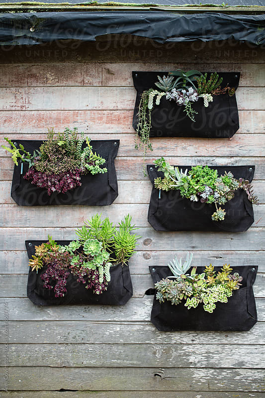 Garden shed wall with vertical planted succulents by Amy Covington for Stocksy United