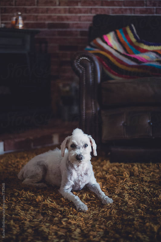 Portrait of a senior dog by Rachel Bellinsky for Stocksy United