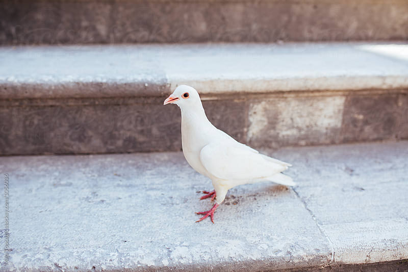 Beautiful white pigeon by Maja Topcagic for Stocksy United
