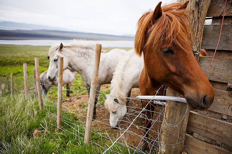 Icelandic Horses by Dana Pugh for Stocksy United